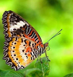 """Leopard Lacewing Butterfly """"Cethosia-cyane"""""""