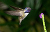 Costa's Hummingbird<br /> Wings of the Tropics