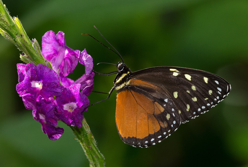 Longwing                                    Hecale Heliconius hecale