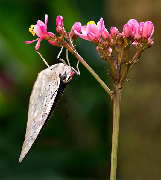 Shoemaker butterfly