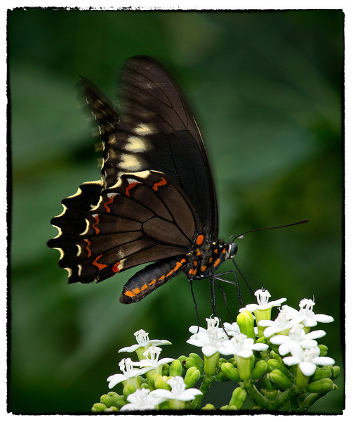 Eolydamas Swallowtail