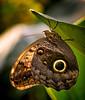 Giant Owl butterfly<br /> Caligo memnon