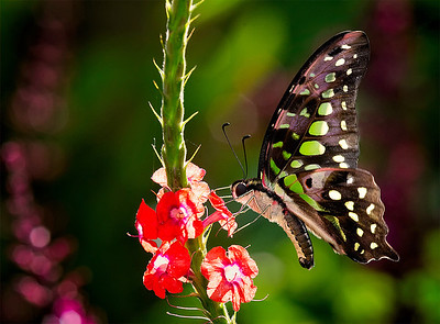 Graphium agamemnon tropical butterfly with green spots and pink highlights