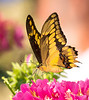 Thoas Swallowtaill Butterfly feeding on Egyptian StarClusters