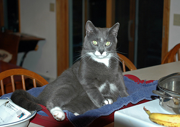 """<div class=""""jaDesc""""> <h4> Phantom on His Bed - June 1, 2006 </h4> <p> Keeping cats off counters is impossible, so we have resigned ourselves to giving them a napping area at a location of our choice.</p> </div>"""
