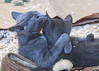 """<div class=""""jaDesc""""> <h4> Scarlett Grooming Dagger - September 9, 2017 </h4> <p>The two Russian Blue kittens were getting very chummy.  After they groomed the fuzzy lining on my slipper, they groomed each other.</p> </div>"""