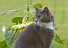 """<div class=""""jaDesc""""> <h4> Phantom in Front of Sunflowers - July 2012 </h4> <p> Phantom enjoys stalking mice in our backyard.  He knows where their trails are and waits for them to run by.</p> </div>"""