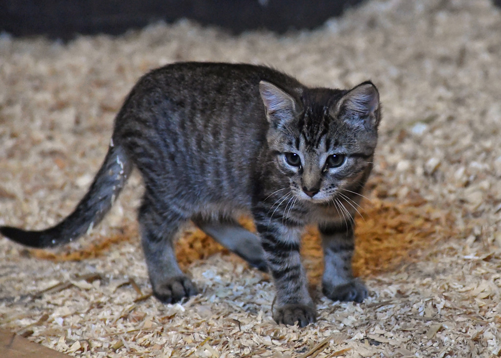 """<div class=""""jaDesc""""> <h4> Sable - September 9, 2017 </h4> <p>Sable is watching 2 of the other 5 kittens playing.</p> </div>"""