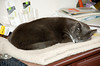 """<div class=""""jaDesc""""> <h4> Phantom - Workstation Companion - November 20, 2008 </h4> <p> Our younger cat Phantom likes to sleep next to the keyboard while Lynn is working at the computer.</p> </div>"""