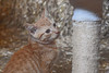"""<div class=""""jaDesc""""> <h4> Toffee - September 9, 2017 </h4> <p>Toffee is the 5th barn kitten, an orange tabby.</p> </div>"""
