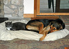 """<div class=""""jaDesc""""> <h4> Phantom Likes Coby's Bed - September 23, 2011 </h4> <p> Normally Coby is stretched out full length in his bed. When Phantom decides to join him, Coby gives him his fair share of space.</p> </div>"""