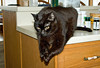 """<div class=""""jaDesc""""> <h4> Moonshine - Praying - November 20, 2008 </h4> <p> Our 15 year old black cat Moonshine likes to lay on the edge of counters and tables and move his two paws up and down as if he is praying.  He has been doing this since he was very young.</p> </div>"""