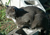 """<div class=""""jaDesc""""> <h4>Phantom on Guard - August 22, 2004 </h4> <p> Phantom survived outside on his own for the very cold winter before we took him in, so he is an excellent hunter.  He likes to position himself in a spot where he can see rodents running along their paths.</p> </div>"""