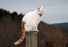 """<div class=""""jaDesc""""> <h4> Turbo Sitting on Fence Post - March 12, 2010 </h4> <p>Turbo likes to be up on top of things. He will often climb up a fence post and survey the barnyard.</p> </div>"""
