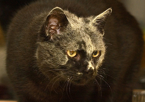 """<div class=""""jaDesc""""> <h4> Moonshine a Bit Dusty - November 18, 2006 </h4> <p> Our older cat Moonshine loves to stick his head in bags.  In this case it was an empty nutritional yeast bag.  He happily groomed it all off and wanted more.</p> </div>"""