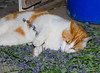 """<div class=""""jaDesc""""> <h4> Columbus - Too Much of a Good Thing - May 25, 2012 </h4> <p> I pruned our catmint plants and dumped the trimmings in the barn for the cats. Columbus (the explorer) had his fill and then plopped down in the middle of the pile - a wee bit tipsy.</p> </div>"""