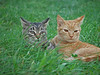 "<div class=""jaDesc""> <h4> Toffee and Sable in Grass - October 28, 2017 </h4> <p>These two 5 month old kittens are good buddies.  My sister-in-law sent me these updates.</p> </div>"