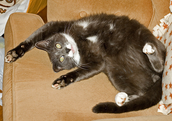 """<div class=""""jaDesc""""> <h4> Phantom Relaxing - November 18, 2007 </h4> <p> Phantom is a great mouse hunter who seems to catch at least one a day.  Between his hunting escapades he lives a spoiled life, often lounging on the furniture.</p> </div>"""