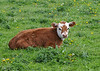 """<div class=""""jaDesc""""> <h4>Calf Lying in Lush Pasture - May 8, 2016</h4> <p>I just had to stop and get a photo of this adorable calf.</p> </div>"""