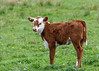 """<div class=""""jaDesc""""> <h4>Calf Stands Up - May 8, 2016</h4> <p>The calf got a little anxious about my presence, stood up, and then ran around behind mama for protection.</p> </div>"""