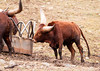 """<div class=""""jaDesc""""> <h4> Ankole-Watusi Cattle - Side View - January 29, 2012</h4> <p>For centuries, these cattle lived only in Africa.  Now they have become established in Europe, South America, Australia and North America.  They are able to live on poor quality pastures and limited quantities of food and water. Seen on a farm in Downsville, NY.</p> </div>"""