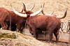 """<div class=""""jaDesc""""> <h4> Ankole-Watusi Cattle - Back View - January 29, 2012</h4> <p>Two Ankole-Watusi cattle are in the Guinness World Records for the largest horn circumferences for a bull and steer respectively. The bull, named CT Woodie, had horns which measured 40.75 inches around (September 20, 2004).  The steer, named Lurch, had horns measuring 37.5 inches (95 cm) around (May 6, 2003).</p> </div>"""