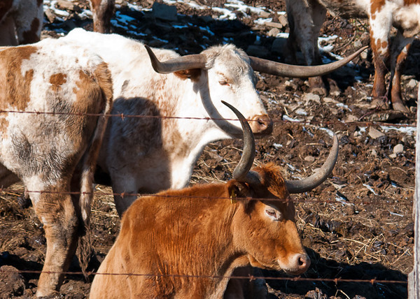 "<div class=""jaDesc""> <h4> Texas Longhorn Cattle - Two Different Horn Curls - January 27, 2013</h4> <p></p> </div>"