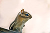 """<div class=""""jaDesc""""> <h4> Chipmunk Makes Appearance - March 8, 2014 </h4> <p>the warmer weather today brought our Chipmunk out of his den.  He posed nicely for me with his left hand neatly tucked against his chest.</p> </div>"""