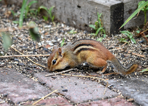 "<div class=""jaDesc""> <h4> Juvenile Chipmunk Collecting Millet Seeds - August 10, 2016 </h4> <p>This juvenile Chipmunk is gobbling up white millet seeds.  The adult Chipmunks always collect sunflower seeds.  We are inundated with Chipmunks this year.</p> </div>"