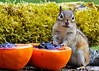 """<div class=""""jaDesc""""> <h4> Chipmunk Claims the Grape Jelly - May 14, 2014 </h4> <p>The Oriole and Catbird are going to have to share with him now.</p> </div>"""