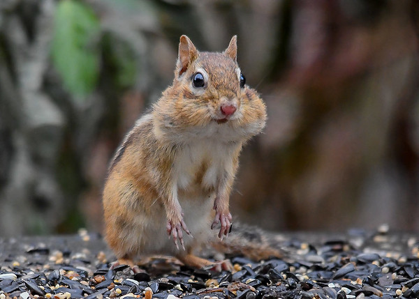 """<div class=""""jaDesc""""> <h4>Chipmunk with Full Cheeks - November 25, 2016 </h4> <p>The birds are a little slower to clean up the seed this time of year.  So the Chipmunks are more than happy to help out.  Notice the finger-like claws.</p> </div>"""