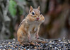 "<div class=""jaDesc""> <h4>Chipmunk with Full Cheeks - November 25, 2016 </h4> <p>The birds are a little slower to clean up the seed this time of year.  So the Chipmunks are more than happy to help out.  Notice the finger-like claws.</p> </div>"
