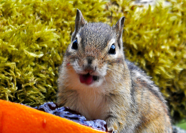 """<div class=""""jaDesc""""> <h4> Chipmunk Likes Grape Jelly - May 14, 2014 </h4> <p>He decided grape jelly tastes great.</p> </div>"""