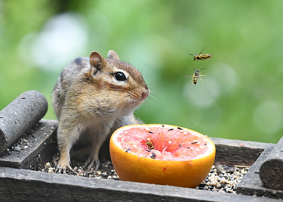Chipmunk Staring Down the Yellow Jackets - August 5, 2020