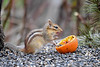 "<div class=""jaDesc""> <h4>Chipmunk Licking Up Jelly - May 5, 2018 </h4> <p>Chipmunk has licked up some jelly with his tongue.</p> </div>"