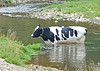 "<div class=""jaDesc""> <h4> Cow Cooling Off - July 8, 2014</h4> <p> It was a hot muggy day.  This Cow was taking advantage of the stream running through the pasture to stay cool. </p> </div>"