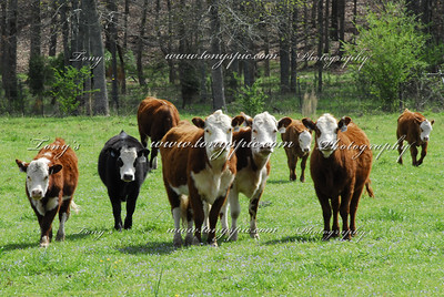 Photos of my Cattle and Farm