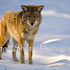 COYOTE AT YOSEMITE _8