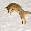 COYOTE AT YOSEMITE _3