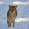 COYOTE AT YOSEMITE _6