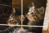 Cute Tabby Kittens