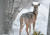 """<div class=""""jaDesc""""> <h4> White-tailed Doe - Being Cautious - November 23, 2018</h4> <p>She got a bit uneasy and started moving away, looking back to see what I was up to. </p> </div>"""