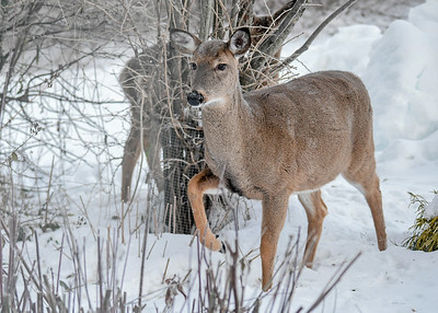 White-tailed Doe - Stomping - November 23, 2018 The Doe was stomping her right hoof, warning the Yearlings that I was nearby.  Surprisingly, she did not run off when she saw me.