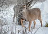 """<div class=""""jaDesc""""> <h4> White-tailed Doe - Stomping - November 23, 2018</h4> <p>The Doe was stomping her right hoof, warning the Yearlings that I was nearby.  Surprisingly, she did not run off when she saw me.</p> </div>"""