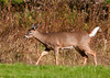 """<div class=""""jaDesc""""> <h4>White-tailed Yearling - November 11, 2010 </h4> <p> This White-tailed Yearling was hurrying to catch up to mom and 2 other yearlings. They had all been grazing on a backyard lawn.</p> </div>"""