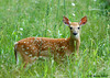 """<div class=""""jaDesc""""> <h4>Fawn Exploring - June 7, 2006 </h4> <p>When mother deer wasn't looking, this fawn got up from the spot where she left it and was romping around the perimeter of our horse pasture.  She was curious about what I was up to.  After about 10 minutes, she went back to the same spot before mom got back.</p> </div>"""