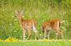 """<div class=""""jaDesc""""> <h4>Pair of Fawns - August 3, 2008 </h4> <p>It is hard to get both of these fawns in the same frame - they are always romping around.</p> </div>"""
