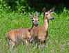 "<div class=""jaDesc""> <h4>Doe and Young Buck - June 1, 2014 </h4> <p> I was set up under my stand-up blind trying to get shots of warblers when I heard a sound behind me.  This Doe and young Buck were scampering through the high grass.  They stopped abruptly; probably picking up my scent.  Notice that the Doe in front has ears forward and Buck in back has ears back for full audio coverage.</p> </div>"