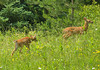 """<div class=""""jaDesc""""> <h4>2 White-tailed Fawns - June 23, 2009 </h4> <p>I have been anxiously waiting for the first white-tailed fawns to appear.  Today 2 wandered out of the trees across the road.  Unfortunately a car was coming and they quickly ducked back into cover.</p> </div>"""