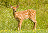 """<div class=""""jaDesc""""> <h4>Fawn Visits Front Yard - July 24, 2008 </h4> <p>A pair of fawns loped into our front yard from the woods across the road.  This one was the boldest and pranced around in the grass for a few minutes.</p> </div>"""